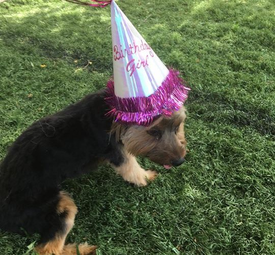 Today K9 Camp Celebrates Mickeys 1st Birthday She Started Coming To Us As Soon Turned 12 Weeks Old Here Is In Her Hat And A Few